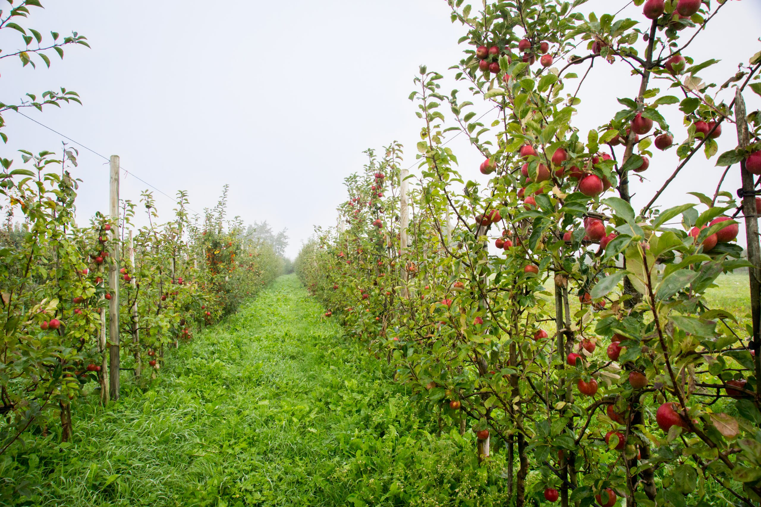 Natyra appels bijna plukklaar