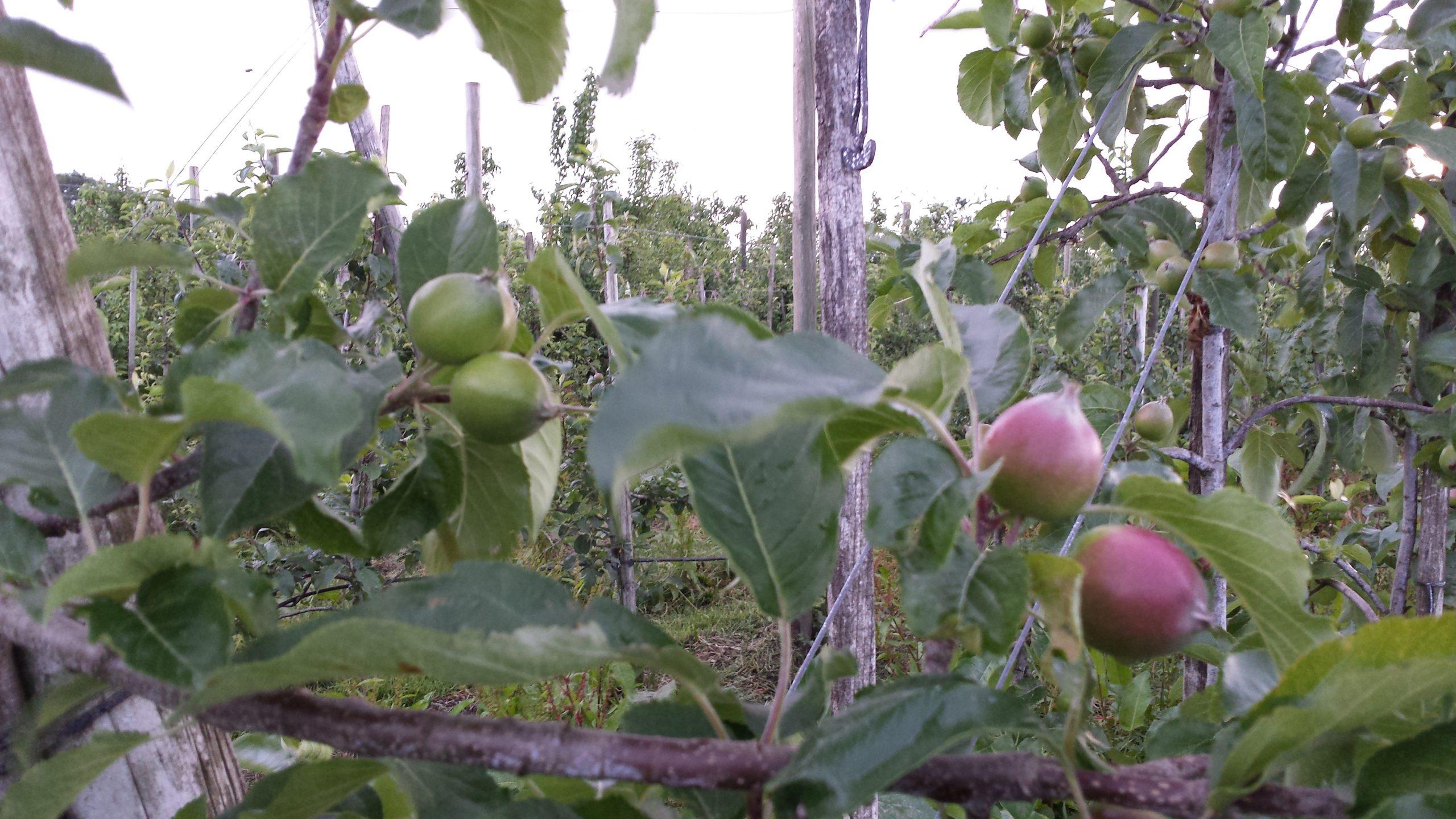 jonge Natyra appeltjes