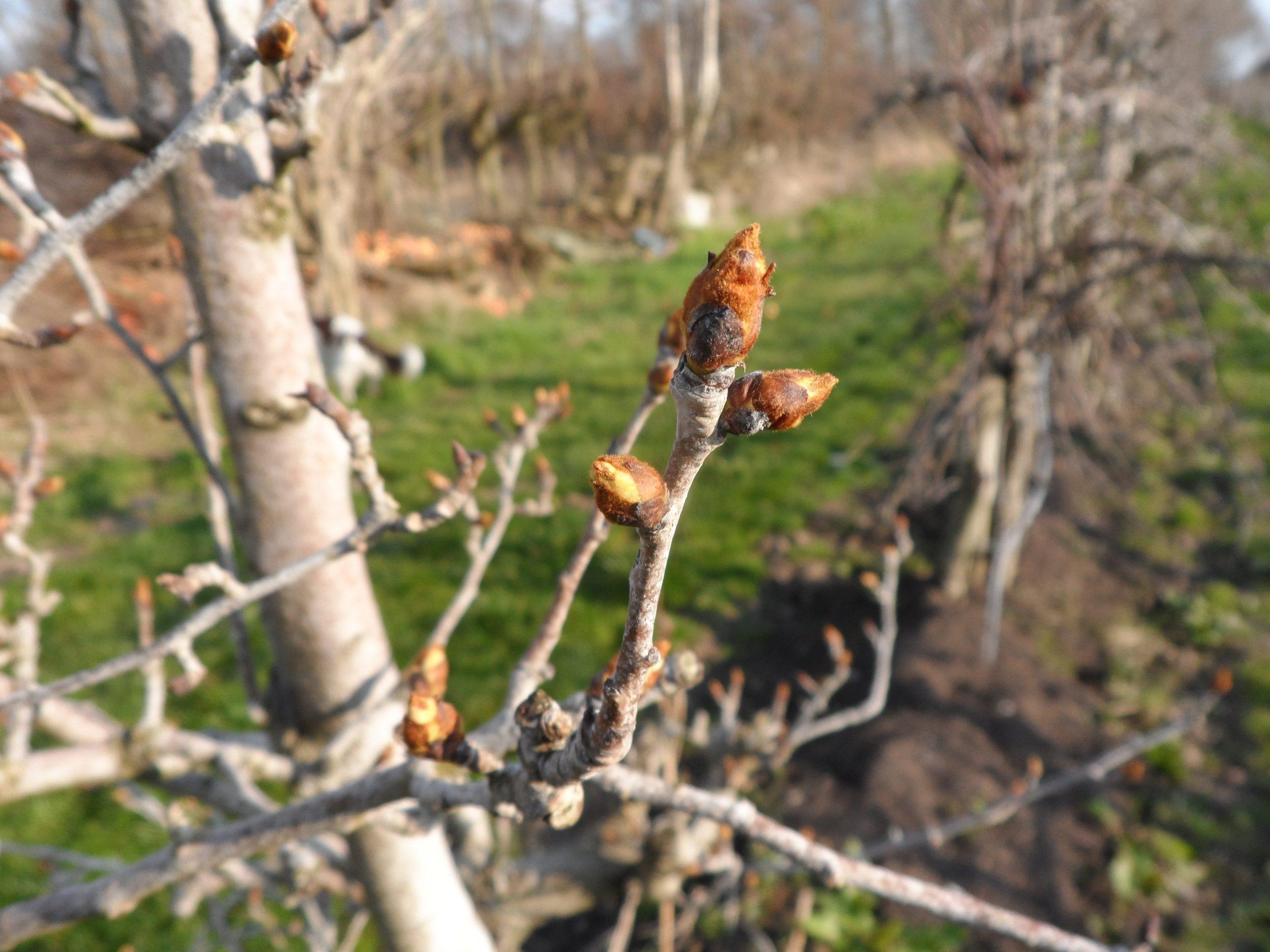 Knoppen gaan schuiven, de lente begint